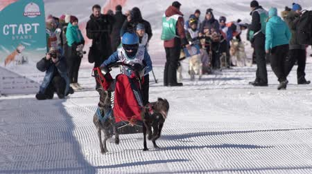 Male child mushing sled dog team, running on snowy race distance during Kamchatka Kids Competitions Sled Dog Racing Dyulin Beringia. Petropavlovsk City, Kamchatka Peninsula, Russia - February 20, 2020 Стоковые видеозаписи