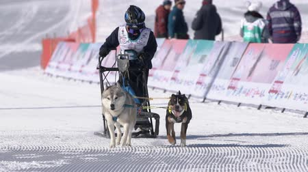 mushing : Male child mushing sled dog team, running on snowy race distance during Kamchatka Kids Competitions Dog Sled Race Dyulin Beringia. Petropavlovsk City, Kamchatka Peninsula, Russia - February 20, 2020