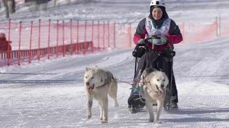 mushing : Boy mushing sled dog team, running on snowy race distance during Kamchatka Kids Competitions Sled Dog Race Dyulin Beringia. Petropavlovsk City, Kamchatka Peninsula, Russian Far East - Feb 20, 2020
