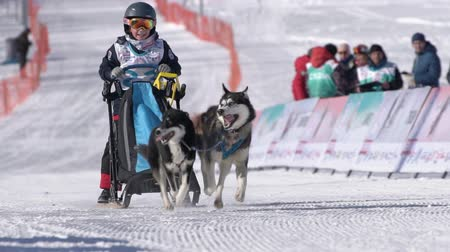 Female child mushing sled dog team, running on snowy race distance during Kamchatka Kids Competitions Sled Dog Race Dyulin Beringia. Petropavlovsk City, Kamchatka Peninsula, Russia - February 20, 2020