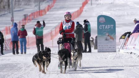 kutyák : Girl mushing sled dog team, running on snowy race distance during Kamchatka Kids Competitions Dog Sled Racing Dyulin Beringia. Petropavlovsk City, Kamchatka Peninsula, Russia - February 20, 2020 Stock mozgókép