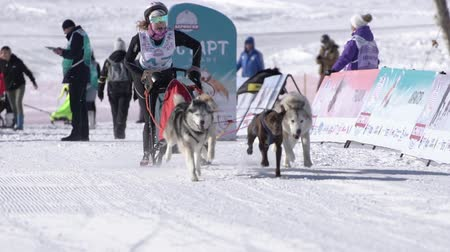 Girl mushing sled dog team, running on snowy race distance during Kamchatka Kids Competitions Dog Sled Race Dyulin Beringia. Petropavlovsk City, Kamchatka Peninsula, Russia - February 20, 2020 Стоковые видеозаписи