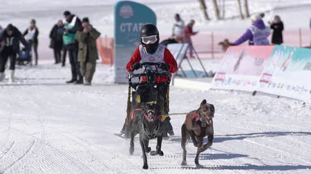 mushing : Male child mushing sled dog team, running on snowy race distance during Kamchatka Kids Competitions Sled Dog Race Dyulin Beringia. Petropavlovsk City, Kamchatka Peninsula, Russia - February 20, 2020