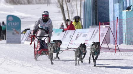 mushing : Girl mushing sled dog team, running on snowy race distance during Kamchatka Kids Competitions Sled Dog Racing Dyulin Beringia. Petropavlovsk City, Kamchatka Peninsula, Russia - February 20, 2020