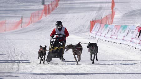 canino : Male child mushing sled dog team, running on snowy race distance during Kamchatka Kids Competitions Dog Sled Race Dyulin Beringia. Petropavlovsk City, Kamchatka Peninsula, Russia - February 20, 2020