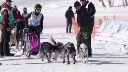 mushing : Female child mushing sled dog team, running on snowy race distance during Kamchatka Kids Competitions Dog Sled Race Dyulin Beringia. Petropavlovsk City, Kamchatka Peninsula, Russia - February 20, 2020