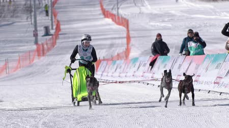 mushing : Girl mushing sled dog team, running on snowy race distance during Kamchatka Kids Competitions Dog Sled Race Dyulin Beringia. Petropavlovsk City, Kamchatka Peninsula, Russia - February 20, 2020 Stock Footage