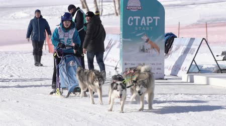 Girl mushing sled dog team, running on snowy race distance during Kamchatka Kids Competitions Dog Sled Racing Dyulin Beringia. Petropavlovsk City, Kamchatka Peninsula, Russia - February 20, 2020 Стоковые видеозаписи