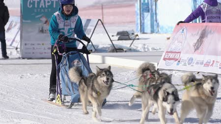 mushing : Female child mushing sled dog team, running on snowy race distance during Kamchatka Kids Competitions Dog Sled Racing Dyulin Beringia. Petropavlovsk City, Kamchatka Peninsula, Russia - Feb 20, 2020 Stock Footage