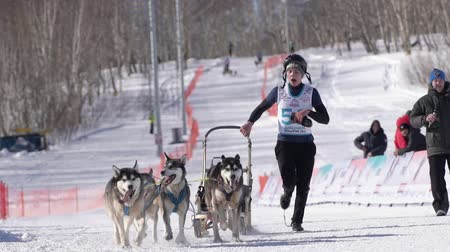 Boy mushing sled dog team, running on snowy race distance during Kamchatka Kids Competitions Sled Dog Racing Dyulin Beringia. Petropavlovsk City, Kamchatka Peninsula, Russian Far East - Feb 20, 2020 Стоковые видеозаписи