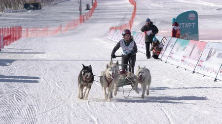 Female child mushing sled dog team, running on snowy race distance during Kamchatka Kids Competitions Sled Dog Racing Dyulin Beringia. Petropavlovsk City, Kamchatka Peninsula, Russia - Feb 20, 2020 Стоковые видеозаписи