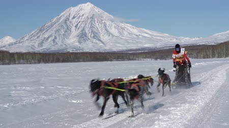 Female mushing sled dog team, running snow race distance Kamchatka traditional Sled Dog Race Competition Beringia on background of Koryak Volcano. Kamchatka Peninsula, Russian Far East - Feb 22, 2020