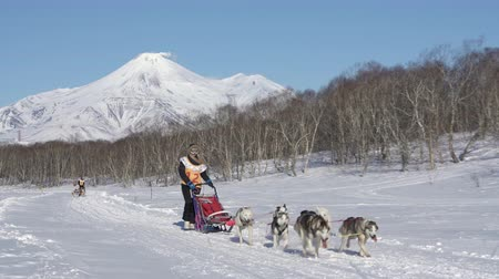 Female mushing sled dog team, running snow race distance Kamchatka traditional Dog Sled Race Competition Beringia on background Avacha Volcano. Kamchatka Peninsula, Russian Far East - Feb 22, 2020