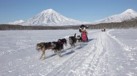 Male mushing sled dog team, running snow race distance Kamchatka traditional Sled Dog Race Championship Beringia on background of Koryak Volcano. Kamchatka Peninsula, Russian Far East - Feb 22, 2020 Стоковые видеозаписи