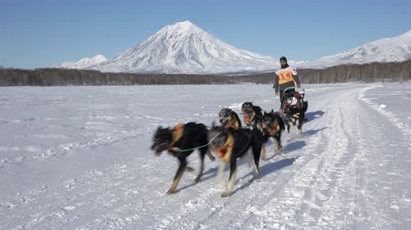 Male mushing sled dog team, running snow race distance Kamchatka traditional Sled Dog Racing Competition Beringia on background of Koryak Volcano. Kamchatka Peninsula, Russian Far East - Feb 22, 2020