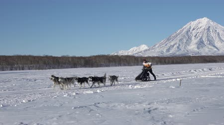 kutyák : Male mushing sled dog team, running snow race distance Kamchatka traditional Sled Dog Race Championship Beringia on background of Koryak Volcano. Kamchatka Peninsula, Russian Far East - Feb 22, 2020 Stock mozgókép