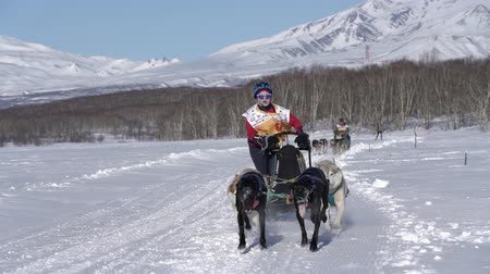 Girl mushing sled dog team, running snow race distance Kamchatka traditional Sled Dog Race Competition Beringia on background Koryak Volcano. Kamchatka Peninsula, Russian Far East - February 22, 2020 Стоковые видеозаписи