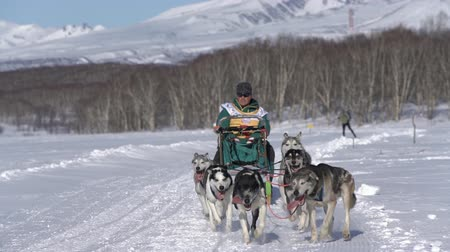 Male mushing sled dog team, running snow race distance Kamchatka traditional Sled Dog Racing Championship Beringia on background Koryak Volcano. Kamchatka Peninsula, Russian Far East - Feb 22, 2020.