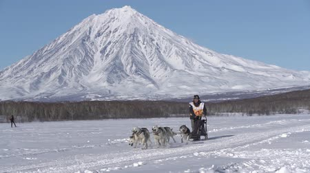 Male mushing sled dog team, running snow race distance Kamchatka traditional Sled Dog Race Competition Beringia on background of Koryak Volcano. Kamchatka Peninsula, Russian Far East - Feb 22, 2020. Стоковые видеозаписи