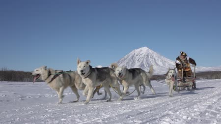 Female musher in traditional aboriginal clothes running husky dog sled team. Kamchatka traditional Sled Dog Race Competition Beringia on background Koryak Volcano. Kamchatka, Russia - Feb 22, 2020. Стоковые видеозаписи