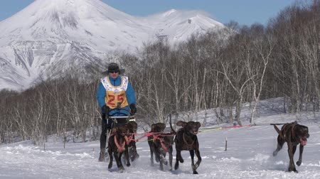 kutya : Male mushing sled dog team, running snow race distance Kamchatka traditional Sled Dog Race Competition Beringia on background mountains. Kamchatka Peninsula, Russian Far East - February 22, 2020.
