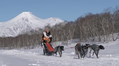Female mushing sled dog team, running snow race distance Kamchatka traditional Sled Dog Racing Championship Beringia on background Avacha Volcano. Kamchatka Peninsula, Russian Far East - Feb 22, 2020. Стоковые видеозаписи