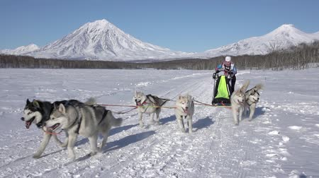 Female mushing sled dog team, running snow race distance Kamchatka traditional Dog Sled Race Competition Beringia on background of Koryak Volcano. Kamchatka Peninsula, Russian Far East - Feb 22, 2020. Стоковые видеозаписи