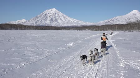 Female mushing sled dog team, running snow race distance Kamchatka traditional Dog Sled Racing Competition Beringia on background Koryak Volcano. Kamchatka Peninsula, Russian Far East - Feb 22, 2020. Стоковые видеозаписи