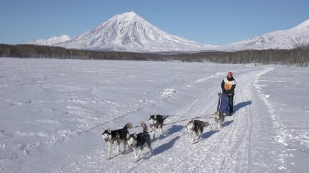 Female mushing sled dog team, running snow race distance Kamchatka traditional Dog Sled Racing Championship Beringia on background Koryak Volcano. Kamchatka Peninsula, Russian Far East - Feb 22, 2020. Стоковые видеозаписи