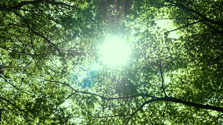 Sunlight through the lush leaves of a maple tree, Uprisen angle view of fresh tree foliage in forest. freshness of spring or summer nature seasonal.
