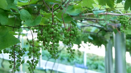 nádech : Zoom out footage of young green grape on grapevine in farm.