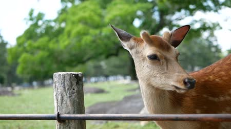 foltos : Young Deer in  park,Kansai,Japan. In spring season.