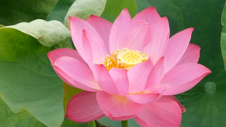 abundante : Lotus in the marsh in morning