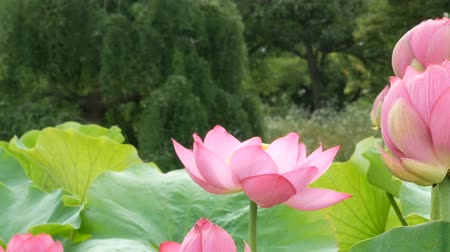 abundante : Pink Lotus in the marsh in morning