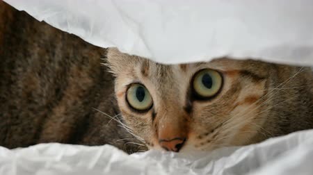 siamese : Yellow Thai cat lying and playing in plastic bag. Close up footage of Thai cat.