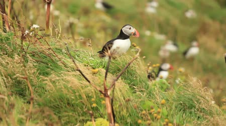 arctica : Atlantic puffin on a meadow on Iceland trying to launch in the strong winds