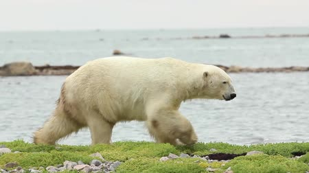 полярный : Curious Canadian Polar Bear walking along the shore of the Hudson Bay near Churchill, Manitoba, in summer