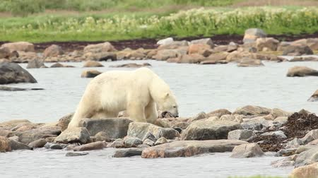 kanada : Curious Canadian Polar Bear walking along the shore of the Hudson Bay near Churchill, Manitoba, in summer