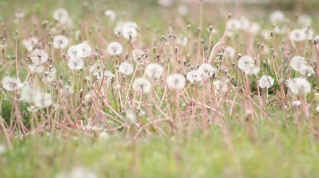 esinti : The green grass covered with white dandelion Stok Video