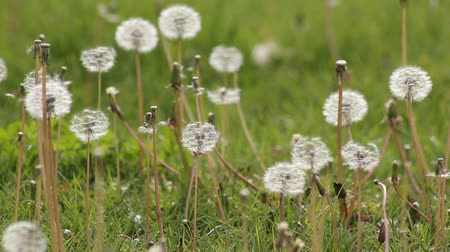 dmuchawiec : The grass covered with many white dandelion. Wideo