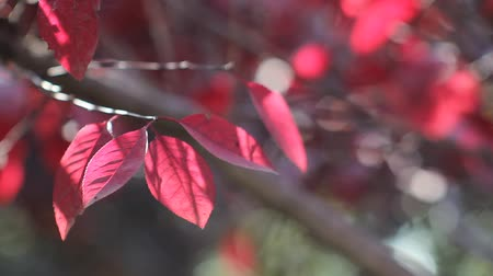 red : The autumn sun shining under the flashing red leaves