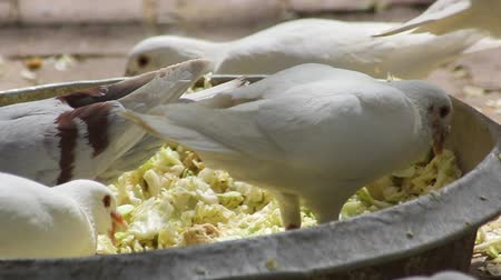 local population : close up of dove in the eating Stock Footage