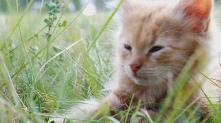 lying cat : relax kitten on green grass Stock Footage