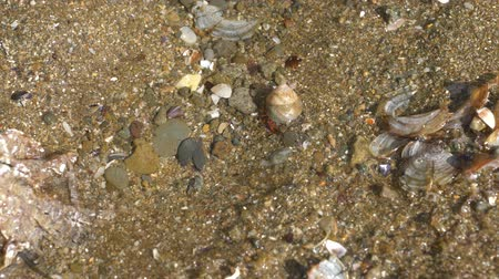 Hermit crab with a shell crawling in shallow water