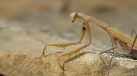mantis : Yellow Mantis crawling in the grass. slow motion