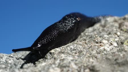 reptile : black slug close up Stock Footage