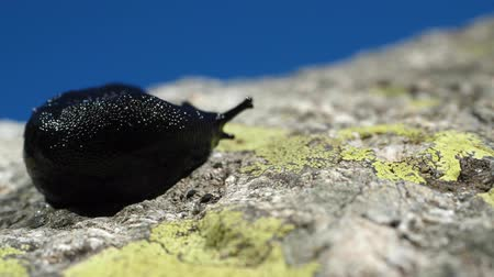ползком : black slug close up Стоковые видеозаписи