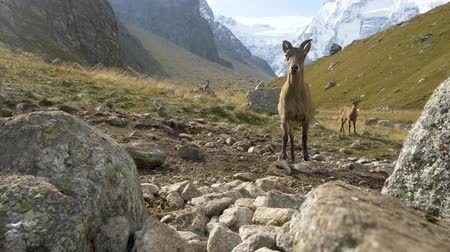 maravilhoso : Alpine goat grazing high in the mountains. Stock Footage