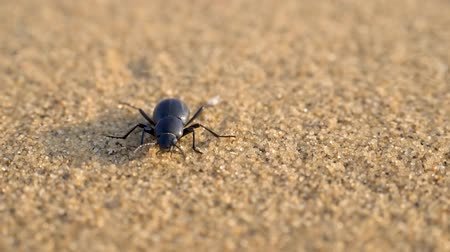 namibya : Scarab beetle crowling on the sand dune i Stok Video