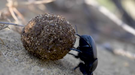 insects isolated : Scarab rolls the ball